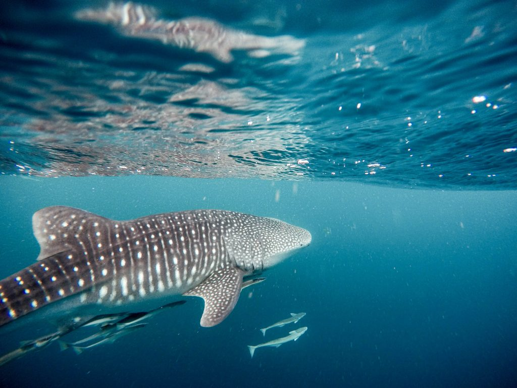whale sharks swimming in the Philippines